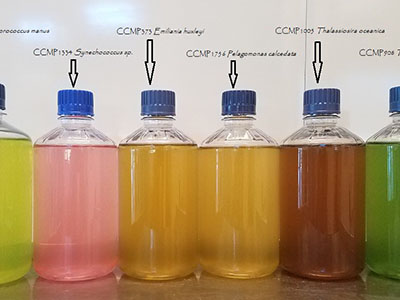 Jars of phytoplankton cultures show their unique coloration in a lineup at Bigelow Laboratory for Ocean Sciences in Boothbay Maine. Credit: Bigelow Laboratory for Ocean Sciences