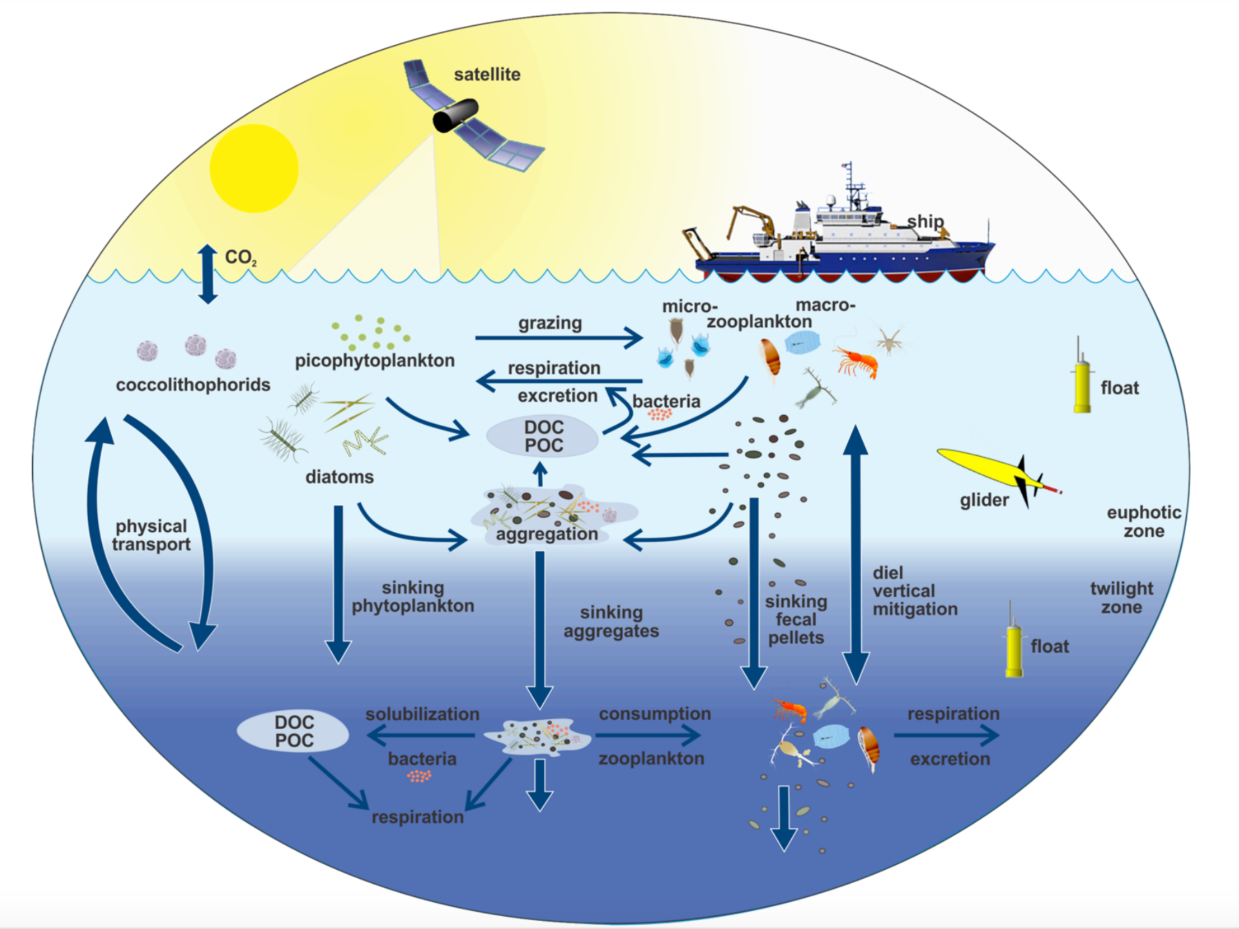 This illustration links the ocean biological pump and pelagic food web. Campaigns such as EXPORTS will utilize ships, satellites and autonomous vehicles to sample many parts of this system.