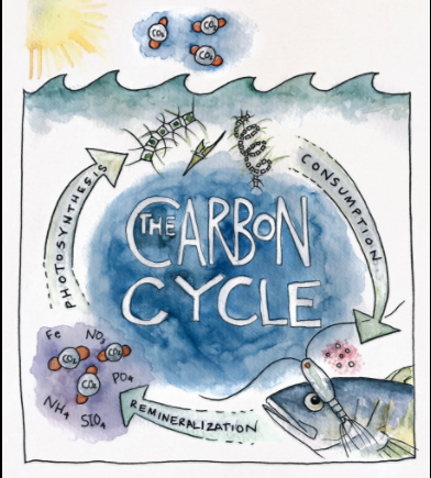 A carbon cycle diagram drawn by Artist at Sea Kirsten Carlson.