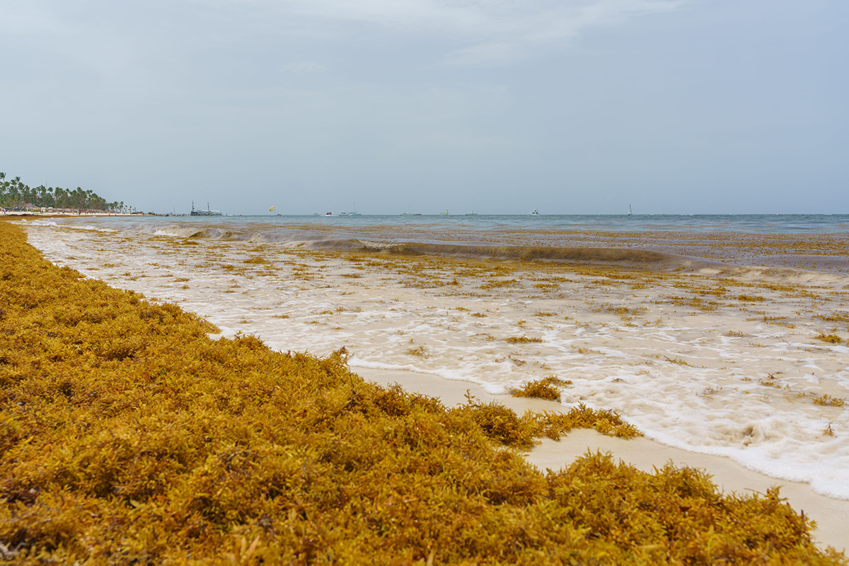 Sargassum collected along coastlines, as shown here in Bavaro, Punta Cana