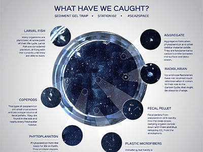The results of a sediment gel trap collected on the Sea to Space Particle Investigation cruise. The trap contained everything from phytoplankton and larval fish to fecal pellets and plastic microfibers. Credit: Schmidt Ocean Institute